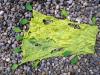 chlorophyll_4